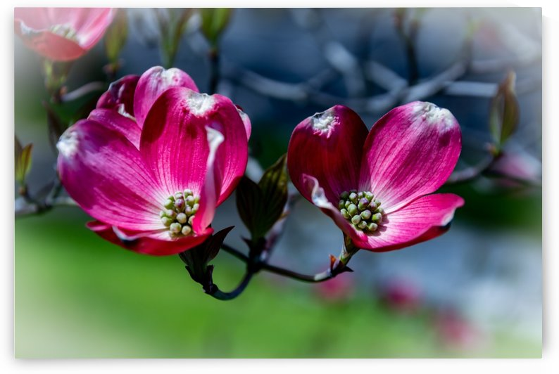 Dogwood 2 by William Norton Photography