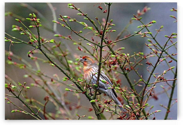 House Finch With Color Variation by Deb Oppermann