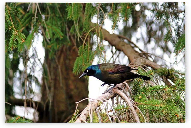 Grackle Iridescent Plumage by Deb Oppermann