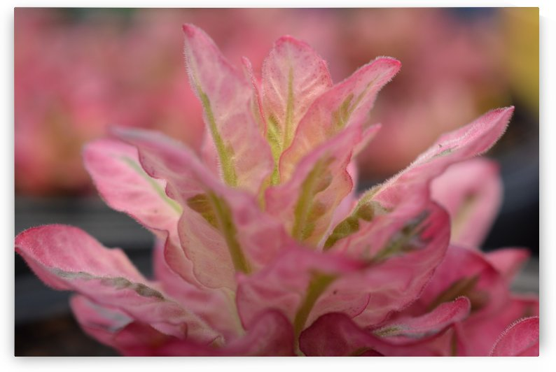 Pink Flower Photograph by Katherine Lindsey Photography