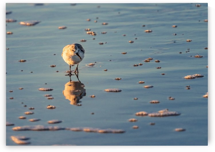 Sanderling Checking Things Out by Peter Kaple