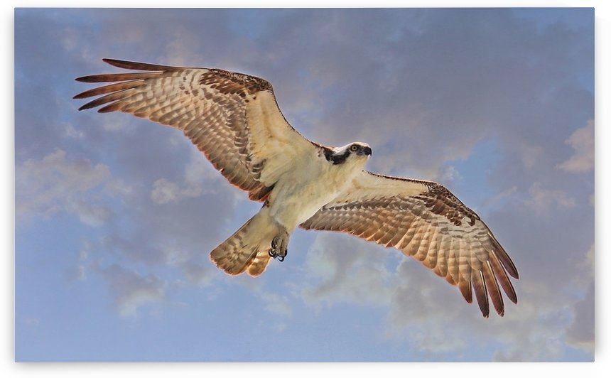 Soaring Osprey by HH Photography of Florida
