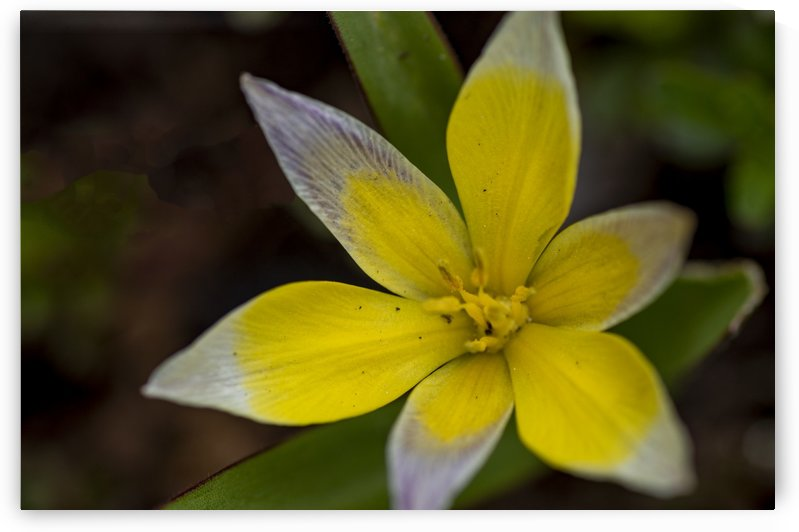 Species Tulip 4 by Bob Corson