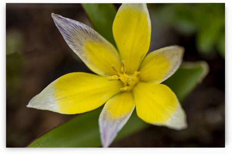 Species Tulip 5 by Bob Corson
