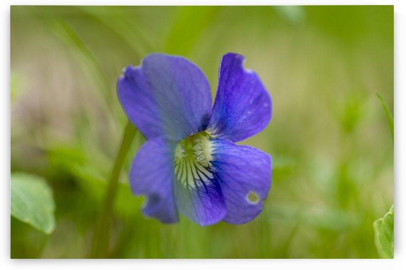 Wild Violet by Bob Corson