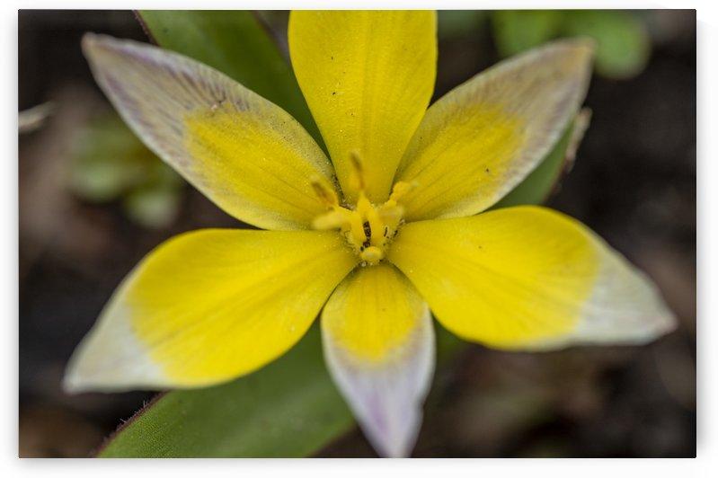 Species Tulip 2 by Bob Corson