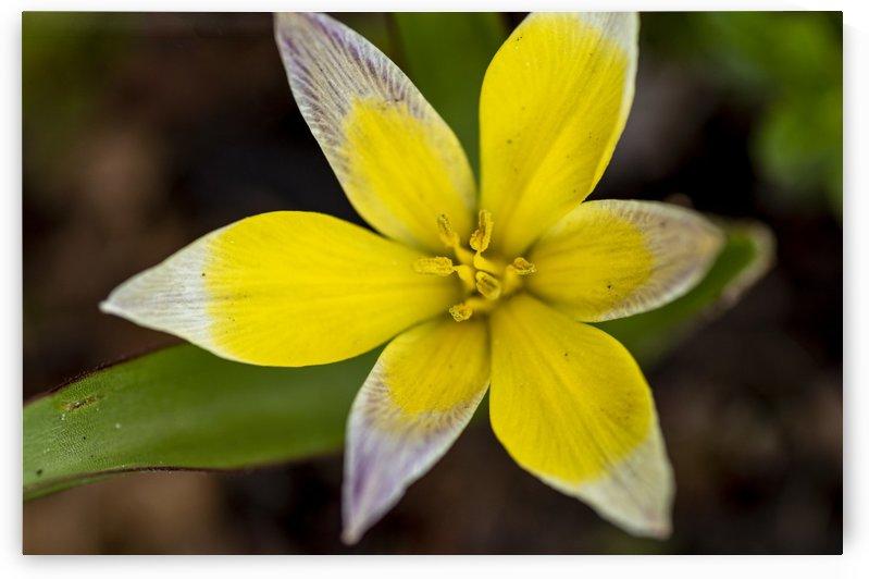 Species Tulip 3 by Bob Corson