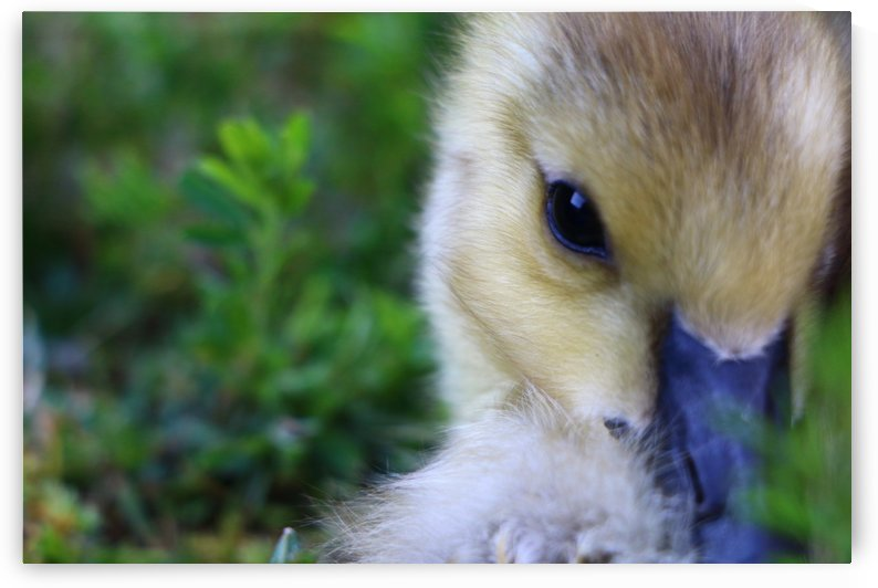 Baby Geese by IsabelVictoria