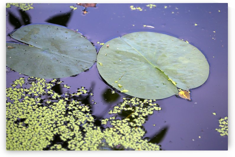 Lily Pads and Duckweed Dow Gardens 2018 by Mary Bedy