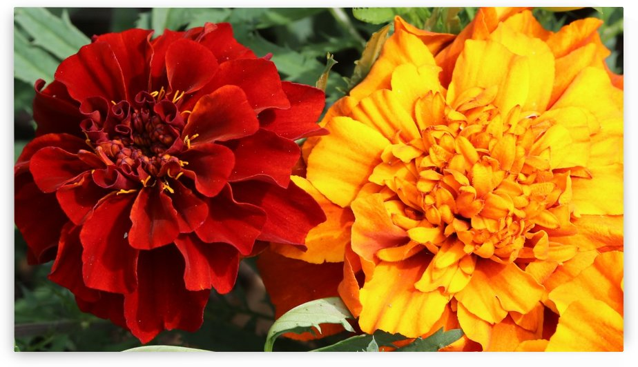 Red and Yellow Marigolds 062718 by Mary Bedy