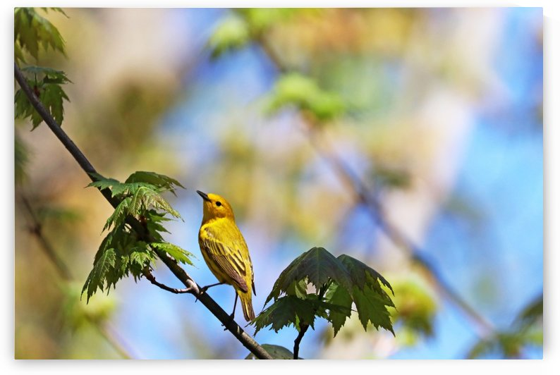 Yellow Warbler In Maple Tree by Deb Oppermann