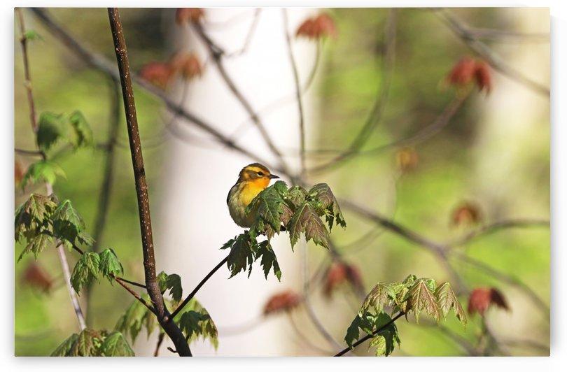 Female Blackburnian Warbler by Deb Oppermann
