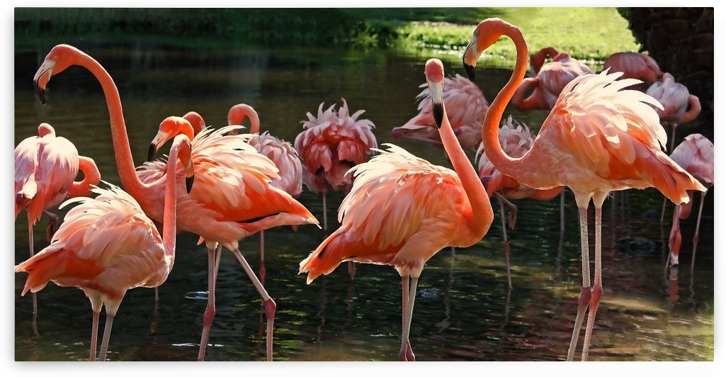 A Flamboyance Of Tropical Flamingos by HH Photography of Florida