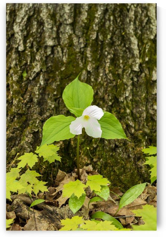 Trillium Woods 12 by Bob Corson