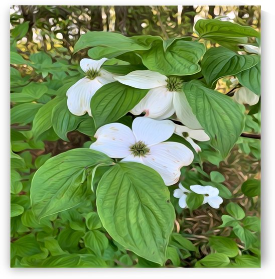 Flowering Dogwood by Picturesque