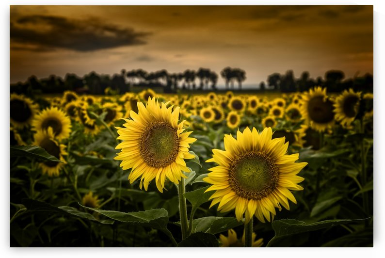 Sunflowers by Tom Jolly