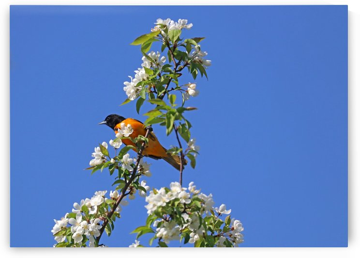 Oriole And White Blossoms by Deb Oppermann