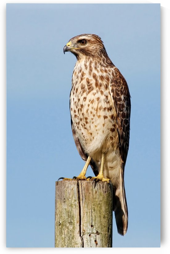 Juvenile Red-shouldered Hawk by HH Photography of Florida