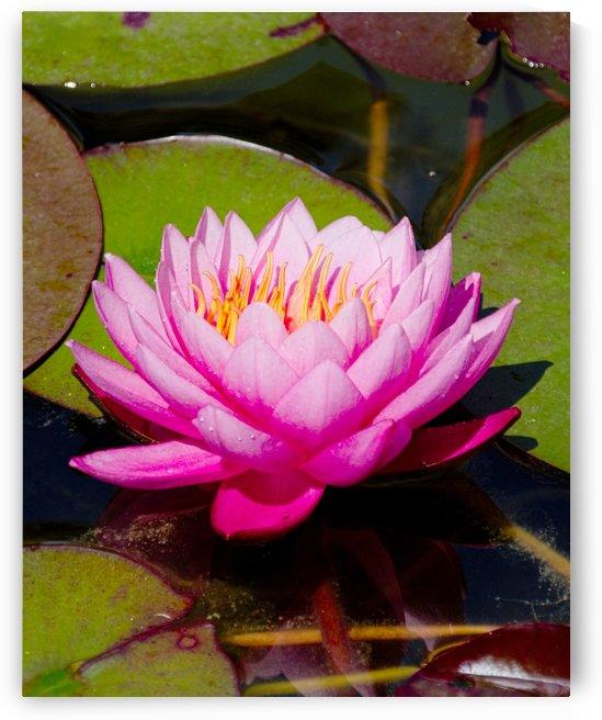 Pink waterlily by Luigi Girola