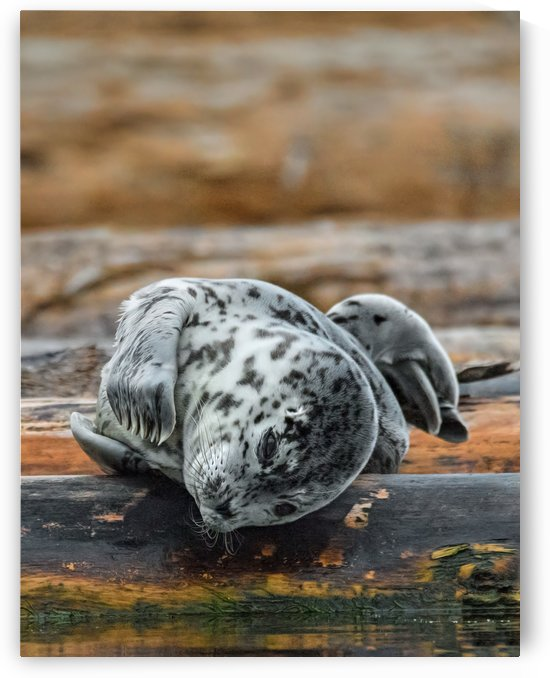 Seal Pup  - Lifes Good by Rudi Mallant Photography