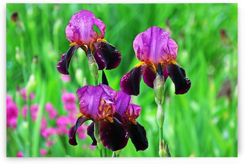 Shades Of Purple Iris Bouquet by Deb Oppermann
