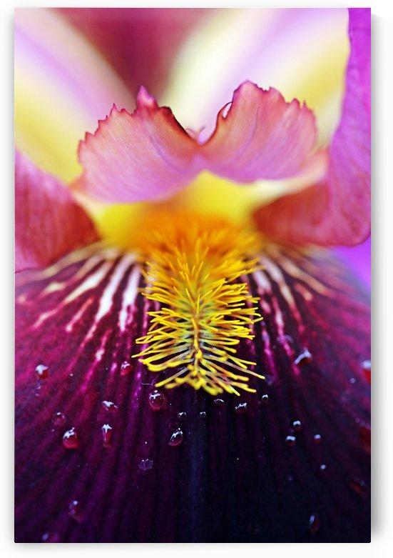 Delightful Iris by Deb Oppermann