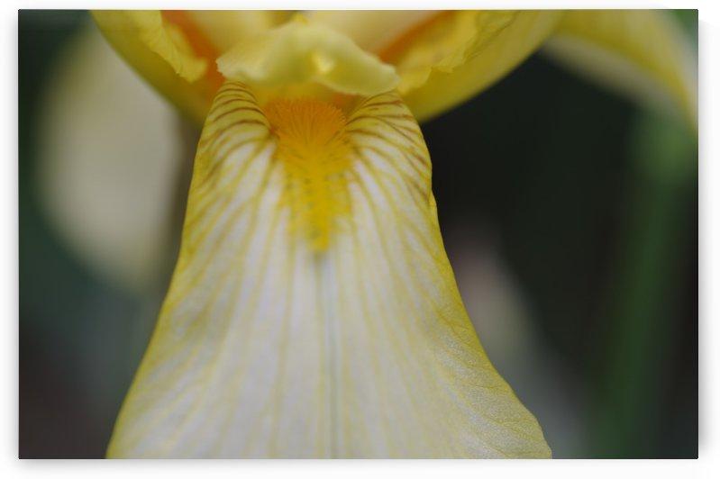 Yellow Bearded Iris 8 by Bob Corson