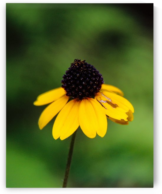 Lone Yellow Flower  by JDWPhotography