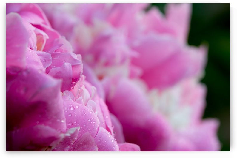 Pink Peony by Brian J Riley