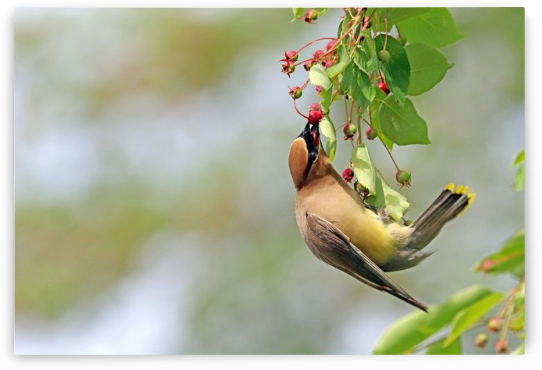 I Choose This Berry by Deb Oppermann