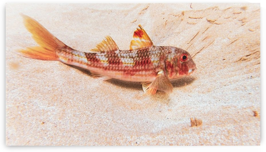 Portuguese Gurnard by By the C Media