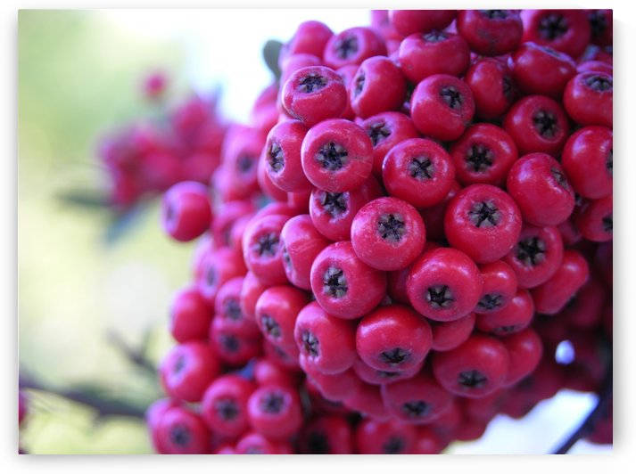 Pink Berries Photograph by Katherine Lindsey Photography