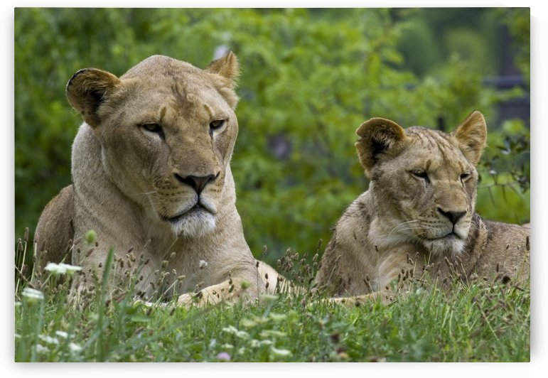 Two Lions by Eliot Scher