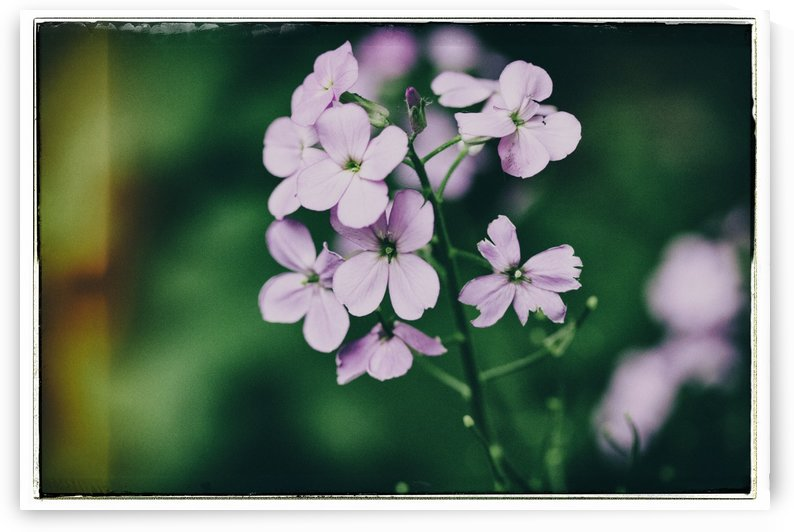 Phlox in Bloom by Alexis Arnold