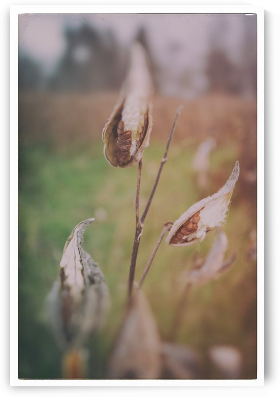 Milk Weed in the Fall by Alexis Arnold