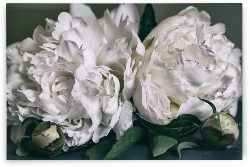 Two Peonies by Alexis Arnold