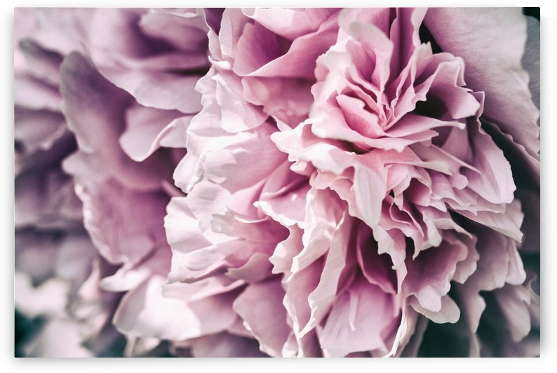 Pink Peony by Alexis Arnold