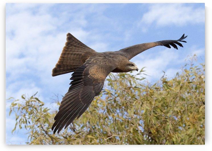 Brown Kite In Flight by Eliot Scher