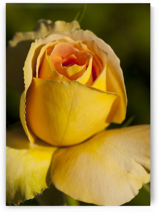 The Rose by Eliot Scher