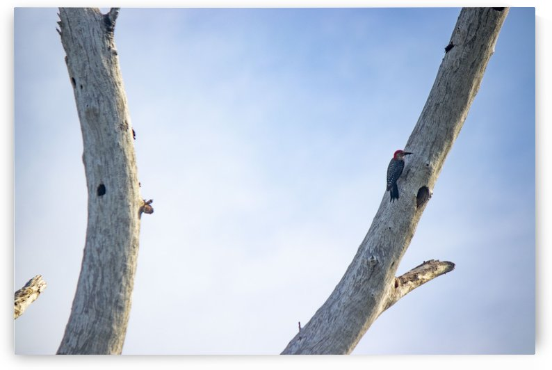 woodpecker on Australian pine by By the C Media