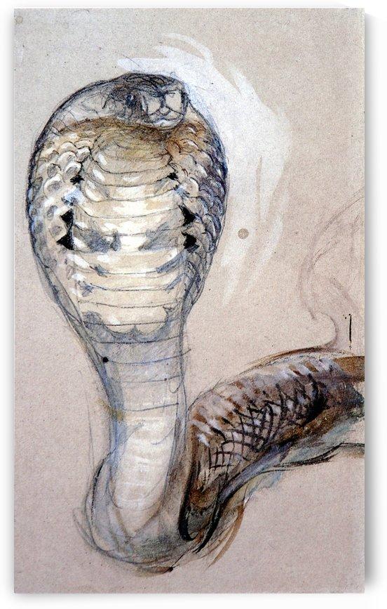 Full Face of Cobra by John Ruskin