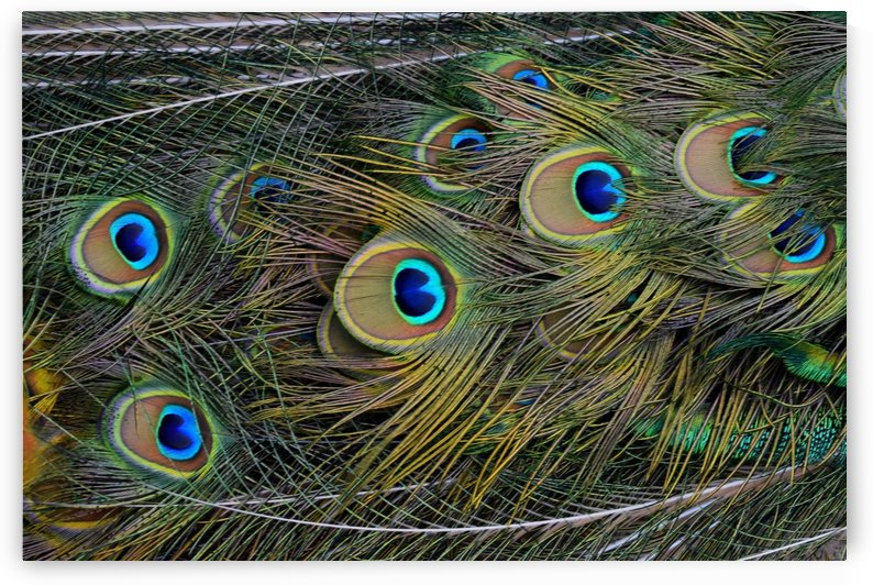 peacock tail feathers close up by Shamudy