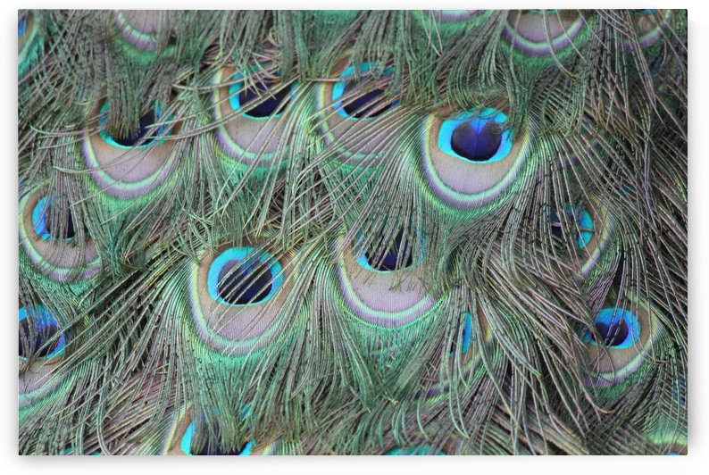 peacock feather pattern plumage by Shamudy