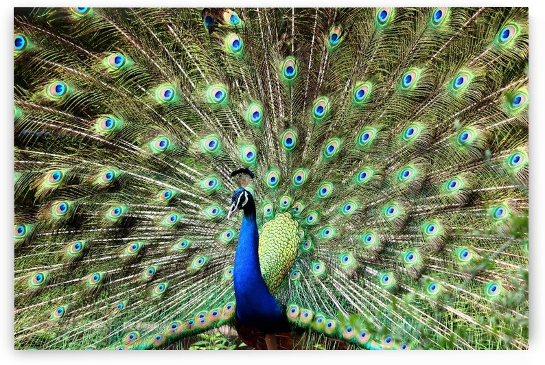 blue and green peacock by Shamudy