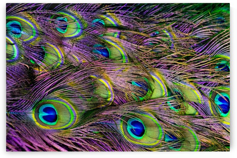 green purple and blue peacock feather digital wallpaper by Shamudy