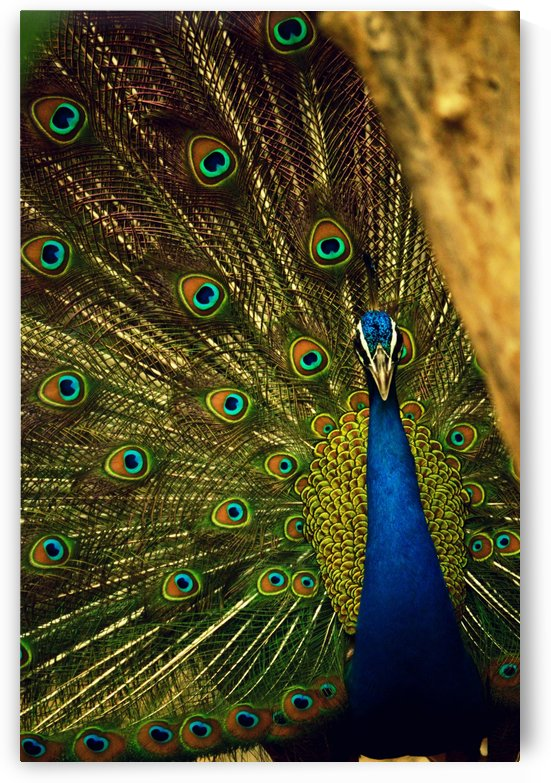 blue and green peafowl by Shamudy