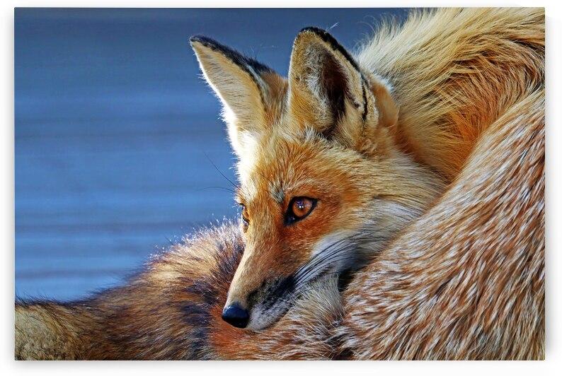 Comfy Fox by Deb Oppermann
