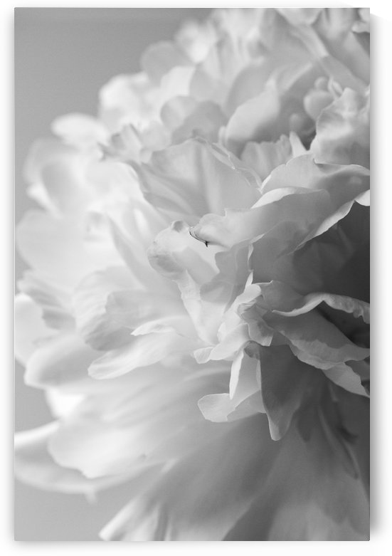 Softness in Black & White by Alexis Arnold