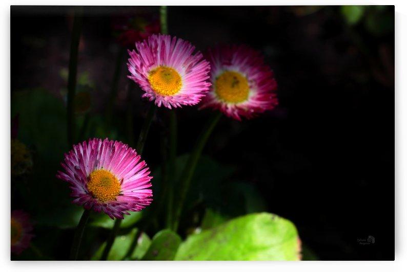 Soleil rose 2- Pinkish sun 2 by Sylvain Bergeron Photographies