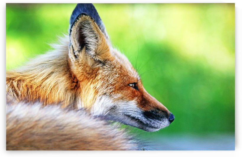 Red Fox Profile I by Deb Oppermann